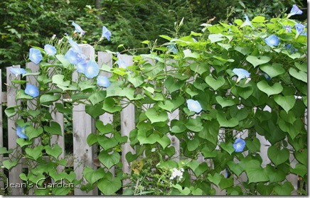 Morning Glories blooming on the garden fence (photo credit:Jean Potuchek)