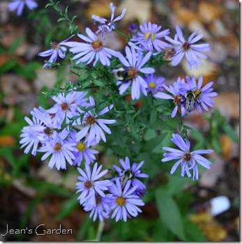Aster laevis 'Bluebird' with bees (photo credit: Jean Potuchek)