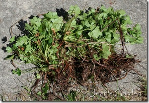 A clump of bare-root Geranium 'Biokovo' (photo credit: Jean Potuchek)