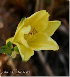 Last fall flowers on Hemerocallis 'Happy Returns' (photo credit: Jean Potuchek)