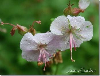 Geranium x cantabrigiense Biokovo blooms profusely in late spring in both gardens (photo credit: Jean Potuchek)