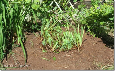Repositioned iris clump after division (photo credit: Jean Potuchek)