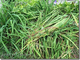 Messy tangle of iris foliage (photo credit: Jean Potuchek)