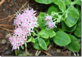 Small sedum just beginning to bloom (photo credit: Jean Potuchek)