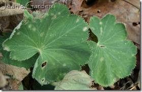 A few green leaves on Alchemilla mollis in November (photo credit: Jean Potuchek)
