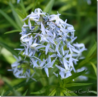 Amsonia bloom (photo credit: Jean Potuchek)