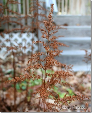 Astilbe seedheads (photo credit: Jean Potuchek)