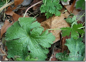 November leaves of unknown Geranium (photo credit: Jean Potuchek)