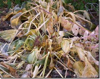 hosta fall foliage (photo credit: Jean Potuchek)