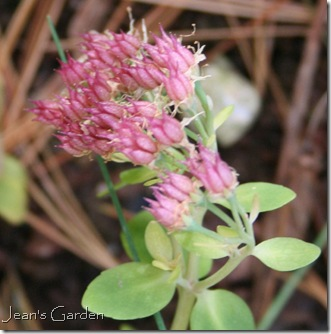 sedum single bloom (photo credit: Jean's Garden)