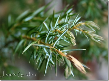 Striped needle on low-growing conifer (photo credit: Jean Potuchek)