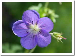 Geranium 'Brookside' (photo credit: Jean Potuchek)