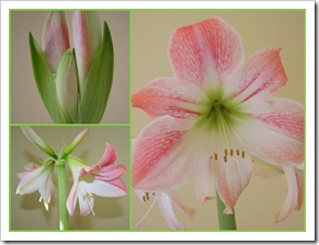 Amaryllis 'Apple Blossom' (photo credit: Jean Potuchek)