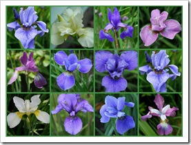 Siberian iris collage (photo credit: Jean Potuchek)