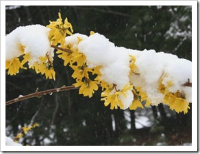 Snow on Forsythia (photo credit: Jean Potuchek)