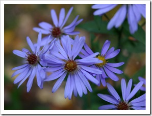 Aster 'Bluebird' (photo credit: Jean Potuchek)
