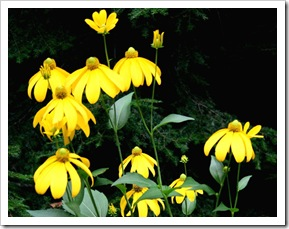Rudbeckia 'Herbstsonne' (photo credit: Jean Potuchek)