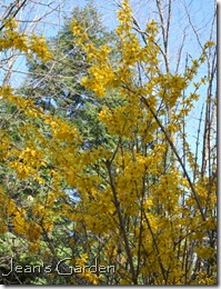 Forsythia (photo credit: Jean Potuchek)