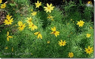 Coreopsis verticillata naturalized along the driveway (photo credit: Jean Potuchek)