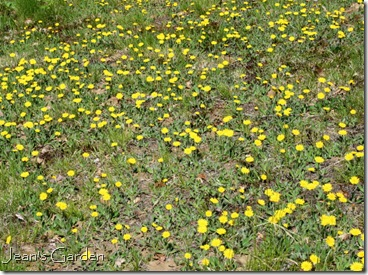 Mouse-ear hawkweed blooming in front yard (photo credit: Jean Potuchek)