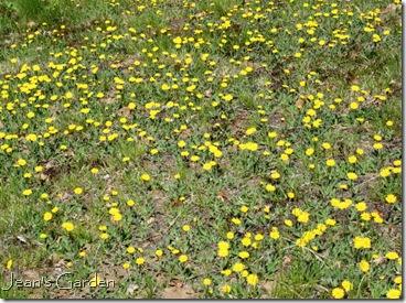 Mouse-ear hawkweed blooming in front yard (photo credit: Jean Potuchek)