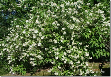Mock Orange (photo credit: Jean Potuchek)