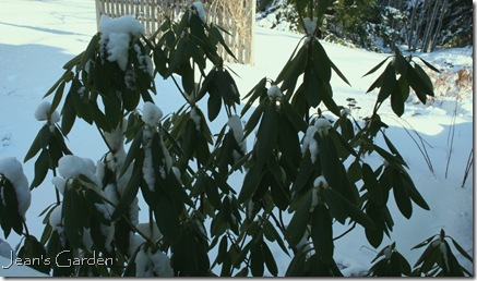 The same rhododendron leaves at warmer temperatures (photo credit: Jean Potuchek)
