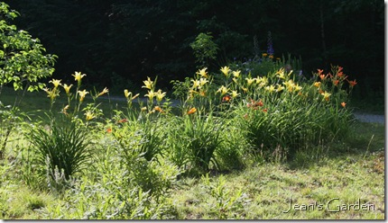 Daylilies growing along the front of my property (photo credit: Jean Potuchek)