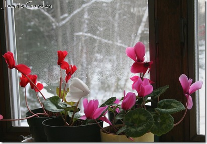 Cyclamen blooming on windowsill (photo credit: Jean Potuchek)