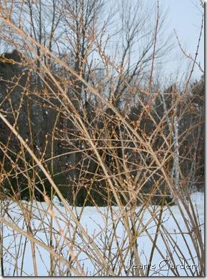 Yellow wood on forsythia (photo credit: Jean Potuchek)