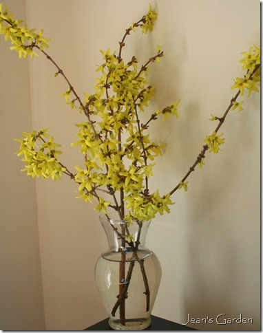 Forced forsythia (photo credit: Jean Potuchek)
