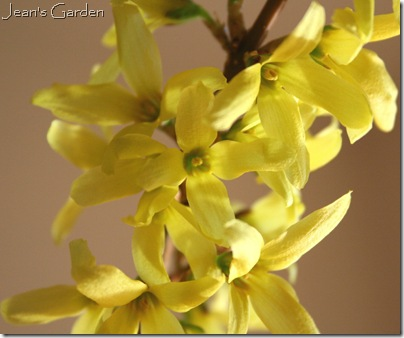 Soft yellow forsythia flowers from my Gettysburg garden (photo credit: Jean Potuchek)
