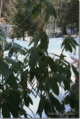 Buds and icicles on rhododendron (photo credit: Jean Potuchek)