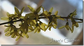 Forsythia in bloom (photo credit: Jean Potuchek)