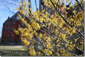Witch hazel in bloom (photo credit: Jean Potuchek)
