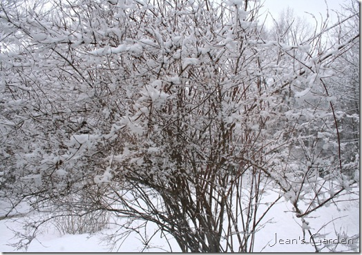 Mock orange in snow (photo credit: Jean Potuchek)