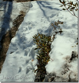 Rhododendron peeking out from beneath snow and ice (photo credit: Jean Potuchek)