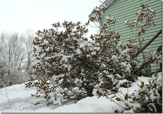 Rhododedron in March snow (photo credit: Jean Potuchek)