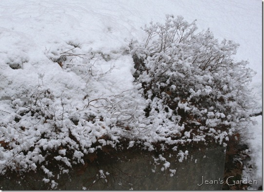 Spirea in March snow (photo credit: Jean Potuchek)