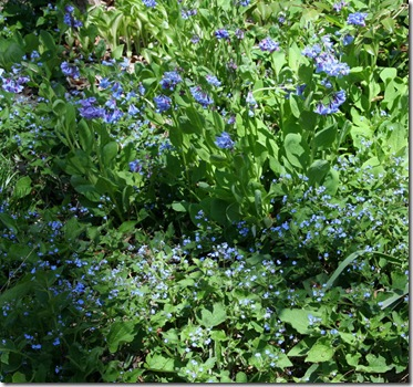Virginia bluebells and Brunnera at Carolyn's Shade Gardens (photo credit: Jean Potuchek)