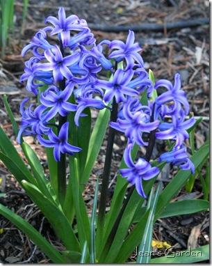 Blue hyacinths (photo credit: Jean Potuchek)