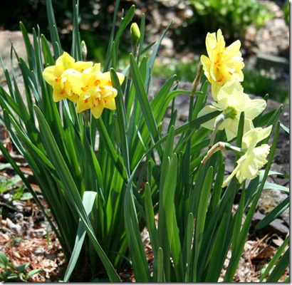 Daffodils in bloom at Carolyn's Shade Gardens (photo credit: Jean Potuchek)