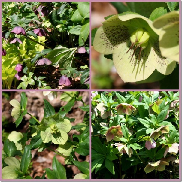Hellebores in bloom at Carolyn's Shade Gardens (photo credit: Jean Potuchek)