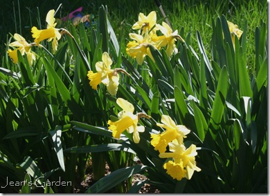 Daffodils in my Gettysburg garden (photo credit: Jean Potuchek)