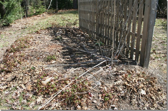 Fence border before spring clean-up (photo credit: Jean Potuchek)