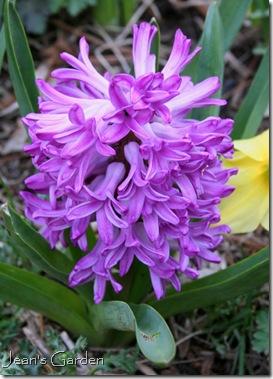 Pink hyacinth (photo credit: Jean Potuchek)