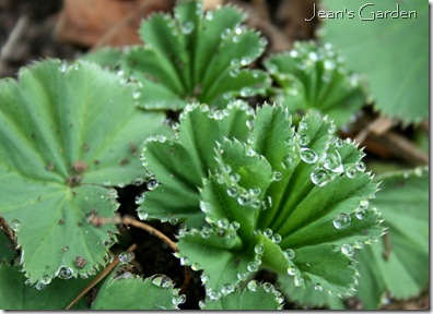 Pleated foliage of Alchemilla mollis (photo credit: Jean Potuchek
