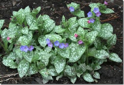 pulmonaria flowers