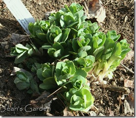 New growth on sedum Matrona (photo credit: Jean Potuchek)