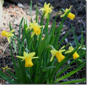 Tete-a-Tete daffodils in Gettysburg (photo credit: Jean Potuchek)
